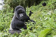 Mountain Gorilla<br /> Gorilla gorilla beringei<br /> Silverback feeding on mountain slope<br /> Parc National des Volcans, Rwanda<br /> *Endangered species
