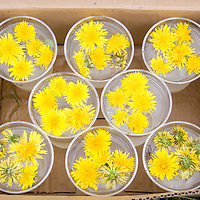 The dandelion flowers sit in water in preparation for a tutorial on making dandelion jelly from the blossoms.