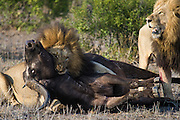 Adult male African Lion (Panthera leo) chokes female African Buffalo while his brother is watching