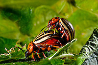 Colorado Beetles in Love.