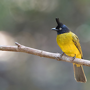 The black-crested bulbul (Pycnonotus flaviventris) is a member of the bulbul family of passerine birds.