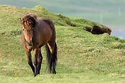 Icelandic Horse, Snaefellnes Peninsula, Iceland
