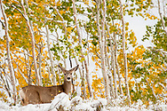 deer in snowy fall aspen forest in Empire Canyon