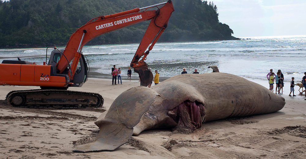A forty tonne Sperm Whale washed up on Whangamata's Beach carried large wounds to it body consistant with a collision with a ship, Whangamata, New Zealand, Saturday, December 03, 2011. Credit:SNPA / John McCombe