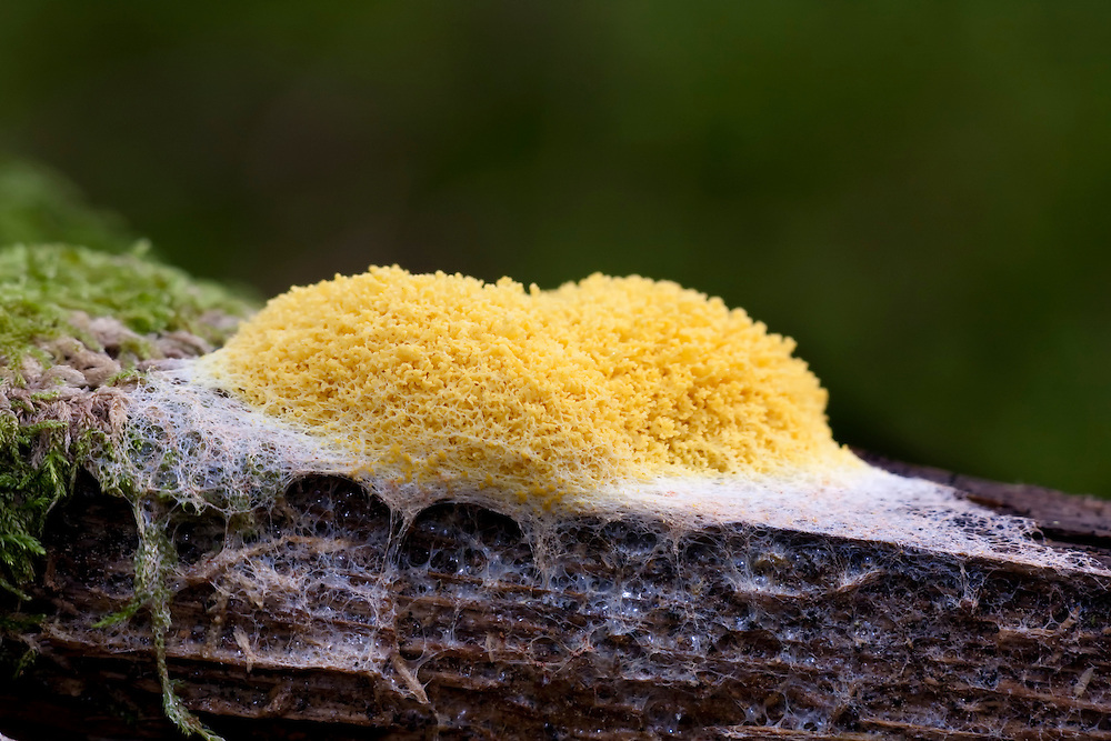 A yellow slime mould on wood against a dark background.