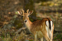 Wild, native original Fallow deer, Dama dama, Studen Kladenets reserve, Eastern Rhodope mountains, Bulgaria