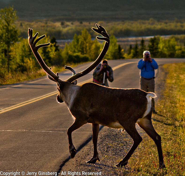 North America, United States, US, Northwest, Pacific Northwest, West, Alaska, Denali National Park, Denali NP, National Park, NP, Bull caribou roaming freely around Denali National Park, Alaska.