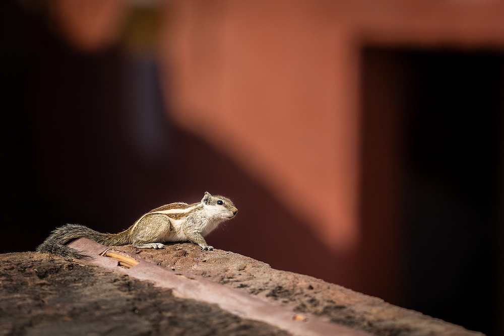 A small, curious squirrel is one of the many inhabitants of the battlements in the palace of Jodhpur.