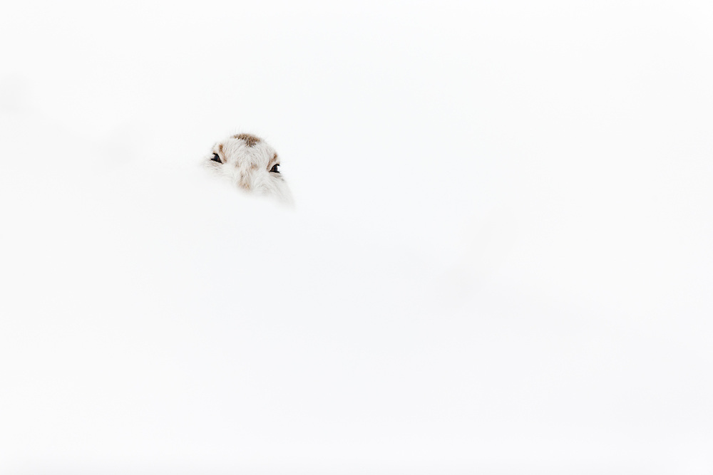 Mountain Hare (Lepus timidus) resting in snow hole in winter