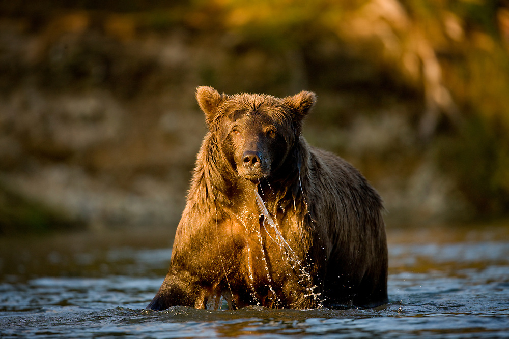 USA, Alaska, Katmai National Park, Kinak Bay, Brown Bear (Ursus arctos) standing in river fishing for spawning salmon at sunset on autumn evening
