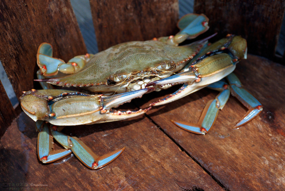 Maryland Blue crab, Callinectes sapidus