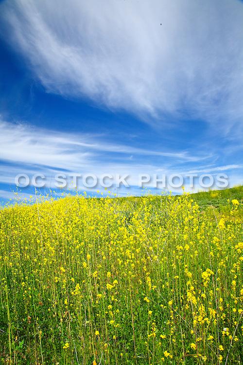 Rolling Hills Of Wild Mustard Plants