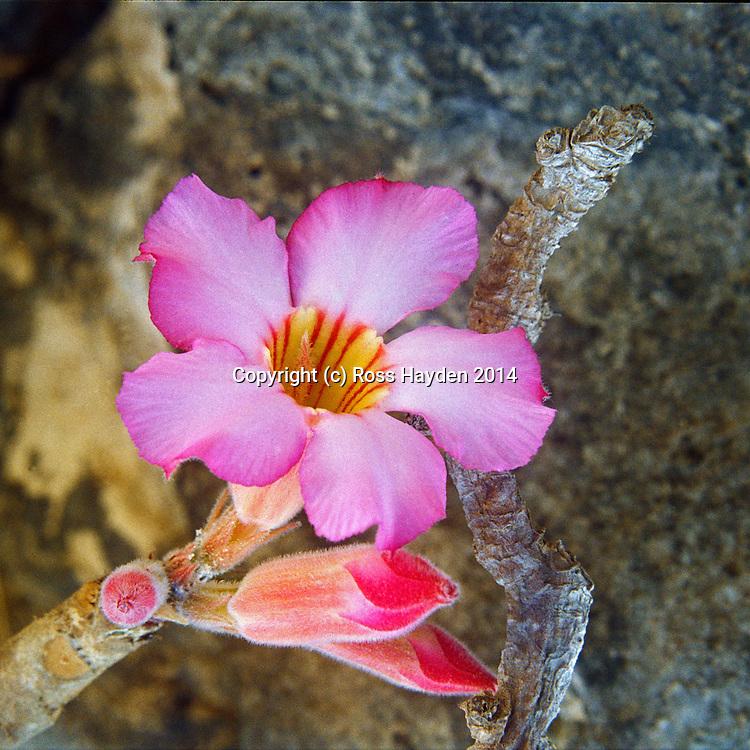 Desert Rose, Adenium Obesum, Dhofar Mountains, Oman