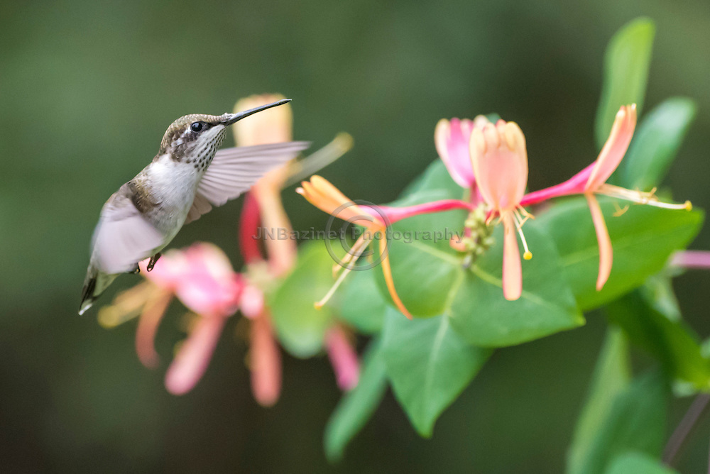 Female Hummingbird flying towards Honeysuckle flowers