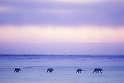 Polar Bear<br /> Ursus maritimus<br /> Mother and yearling cubs<br /> Wapusk National Park, Manitoba, Canada