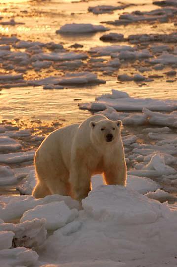 Polar Bear (Ursus maritimus) a male wanders the edge of Hudson Bay at Cape Churchill near Churchill, Manitoba. Sunrise, November