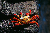 Ecuador Galapagos Islands Sally Lightfoot Crab on rock view from above