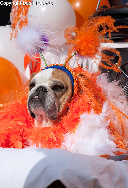 Dog dressed in orange & white for the third annual Mardi Growl Parade in downtown Knoxville, Tennessee on Feb. 13, 2010.