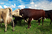 Bull scenting cow on a farm  near Waiuku on North Island  in New Zealand