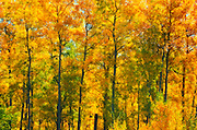 Autumn in aspen forest<br /> Elk Island National Park<br /> Alberta<br /> Canada<br /> Elk Island National Park<br /> Alberta<br /> Canada