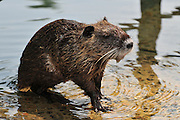 Nutria, (Myocastor coypus) on the river bank Photographed on the Jordan River, Israel