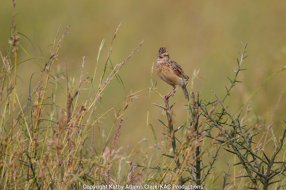 Rufous-naped lark, Mirafra africana, singing  from the top of a bush, Serengeti, Tanzania, Africa.