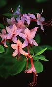 Pinkster azalea wildflower, Hickory Run State Park, PA, Northeast PA Landscape,