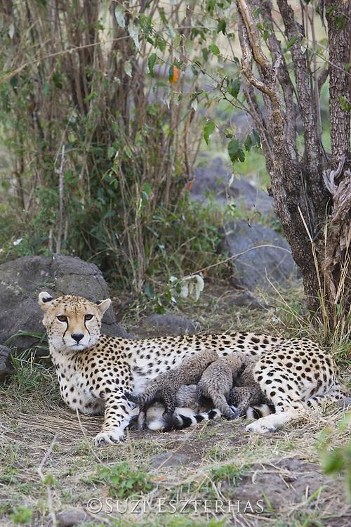 Cheetah<br /> Acinonyx jubatus<br /> Mother and 9 day old cubs in nest <br /> Maasai Mara Reserve, Kenya