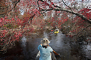 Debbie Canoeing on Cedar Creek; Red Maple; Acer rubrum;  NJ, Pine Barrens, Cedar Creek; kayak; canoe;