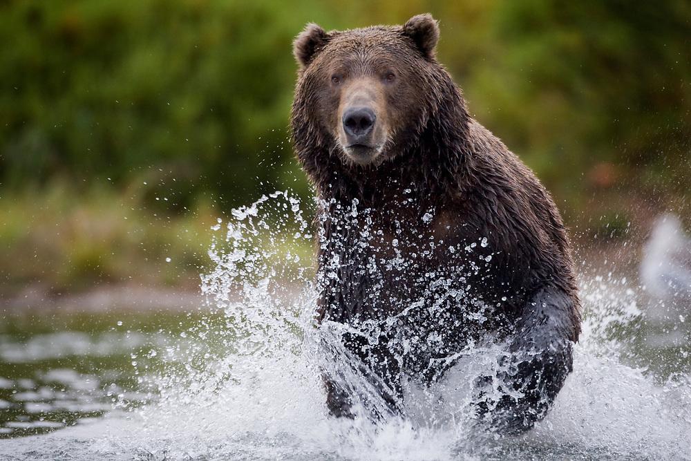 USA, Alaska, Katmai National Park, Kinak Bay, Brown Bear (Ursus arctos) running in river while fishing for spawning salmon on autumn day