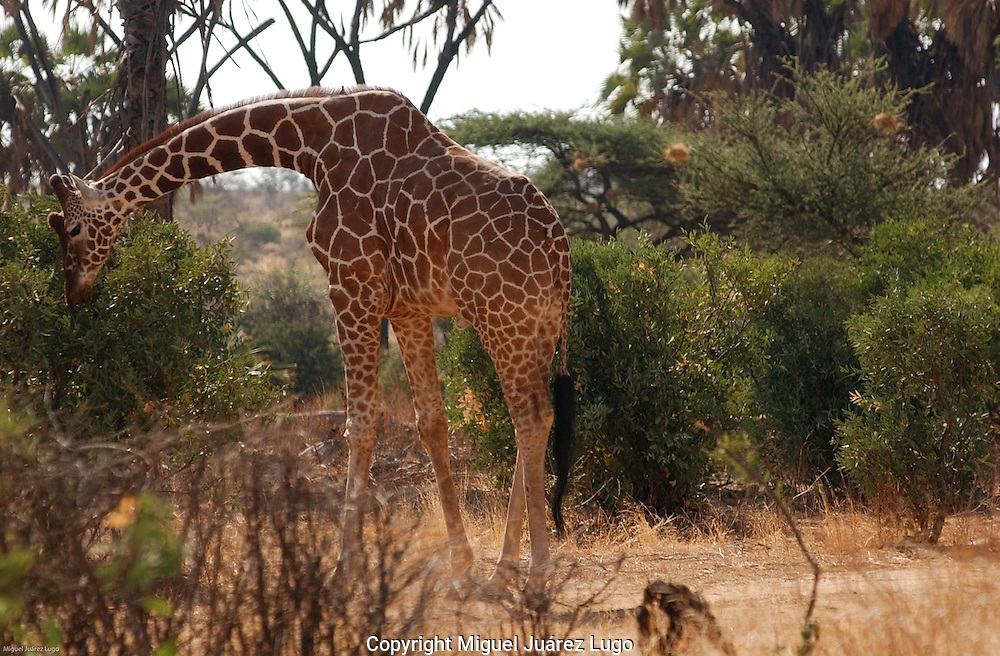 A reticulate giraffe feeds in the shores of the Samburu river in the Samburu park in northern Kenya. Reticulate giraffe can be found only in this part of the world. (PHOTO: MIGUEL JUAREZ LUGO).
