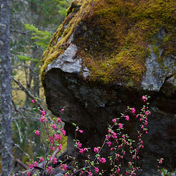 Red Flowering Currant (Ribes sanguineum) and Moss-Covered Boulder, North Cascades National Park, Washington, US