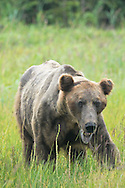 Adult Male Alaskan Brown Bear, Lake Clark National Park, Alaska