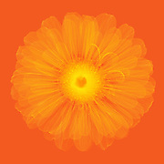 X-ray of Zinnia Flower (Zinnia elegans).
