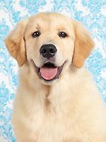 Cute Golden Retriever four month old puppy artistic closeup portrait
