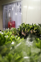 Il Mercato dei fiori di Sanremo: Cella frigorifera per la conservazione *** Local Caption ***<br /> <br /> The flower market of Sanremo: Cold room for Plant Conservation