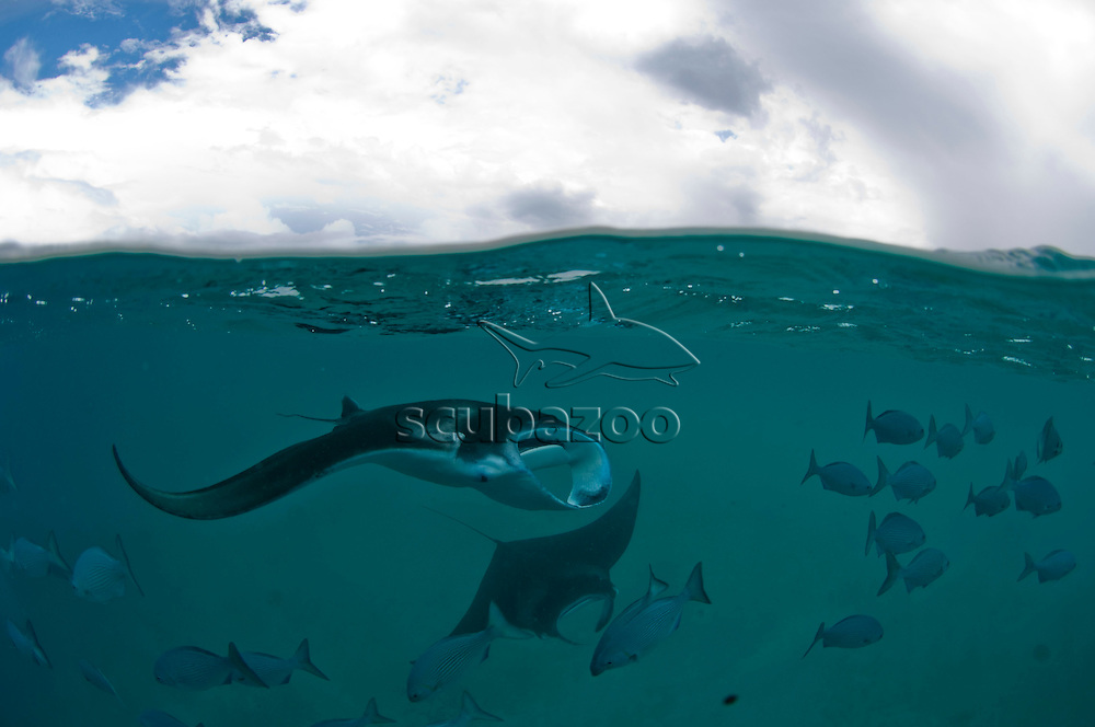 Split shot of several Manta Rays, Manta birostris, feeding with a school of Blue Seachub, Kyphosus cinerascens, near the surface, Baa Atoll, Maldives