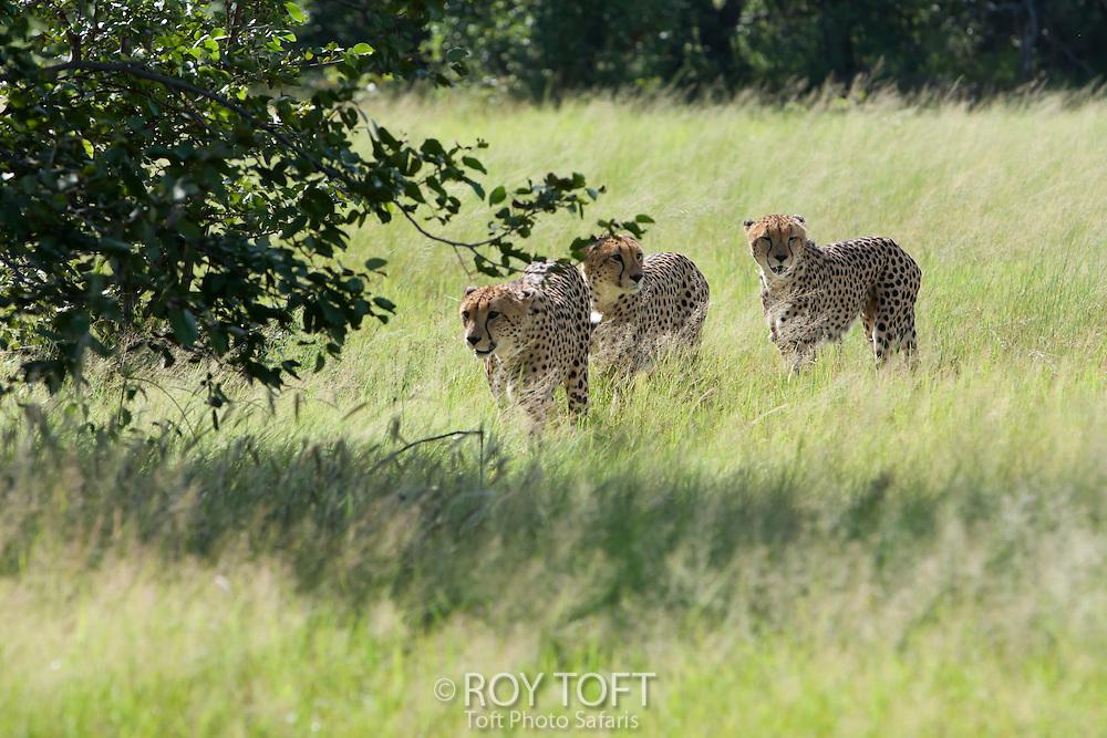 Three cheetahs walking through the tall grass, Botswana, Africa