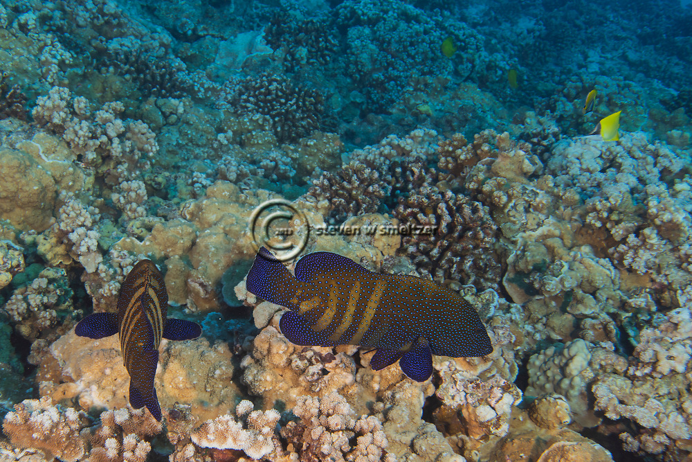 Peacock Grouper, Cephalopholis argus, (Heemstra and Randall 1993), Molokini Crater, Hawaii