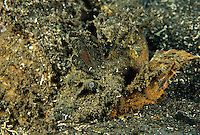 Inimicus spiny devilfish (Inimicus didactylus) in its normal camouflaged position.  It spends most of its time camouflagued waiting for pray .