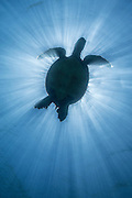 A Hawaiian green turtle eclipses the sun, as sun rays emanate from above.