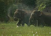 Elephants feeding in tank bed,  Wasgomuwa, Sri Lanka