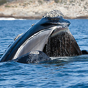 Southern right whale (Eubalena australis) with mouth open at the ocean surface, baleen clearly visible. Photographed with the permission of the Department of Environmental Affairs, South Africa.