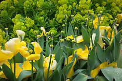 Last petals of Tulipa 'Yellow Purissima' hanging on in rain