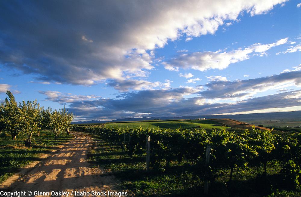 Road through vinyard & orchard, ID.