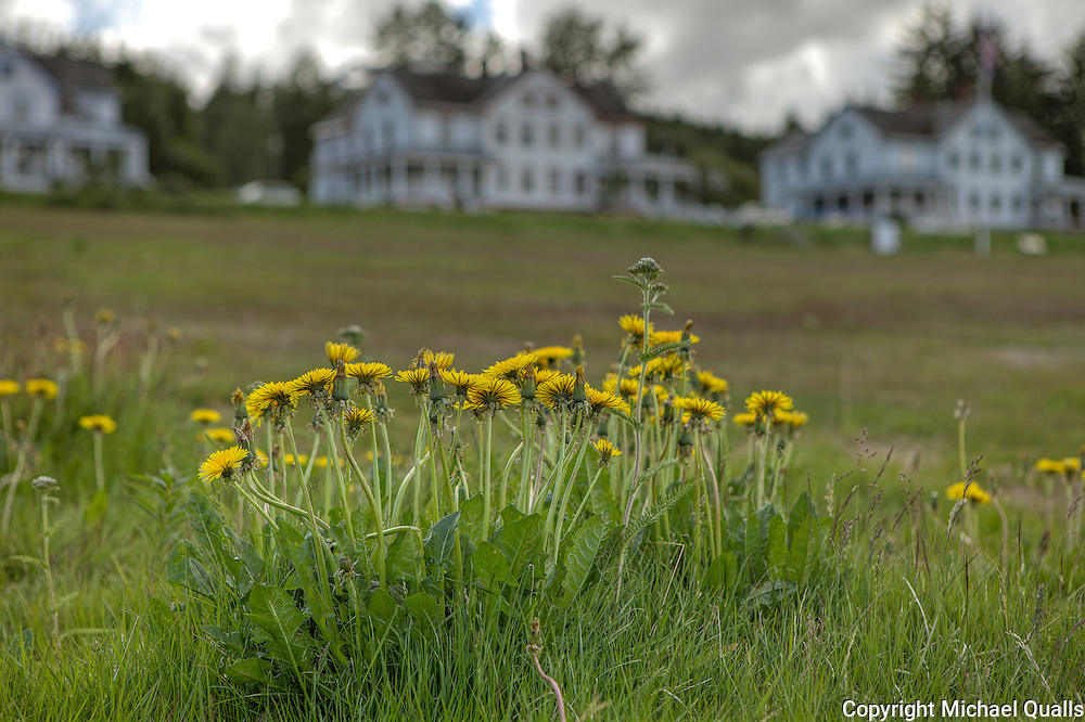 Alaska dandelions on the Fort Seward parade ground.  Haines, Alaska.