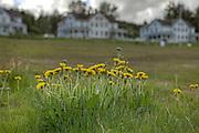 Alaska dandelions on the Fort Seward parade ground.  Haines, Alaska.