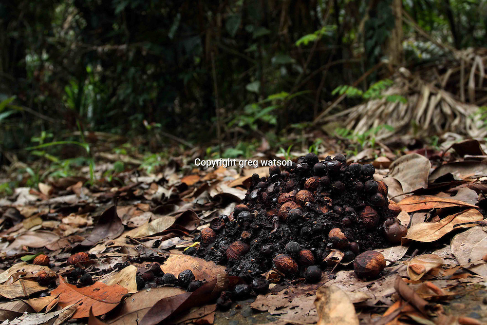 cassowary poo, a major form of seed dispersal in the rainforest