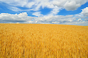 Wheat and clouds<br /> Delburne<br /> Alberta<br /> Canada