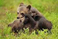 Eurasian Brown Bear, Ursus arctos<br /> Suomussalmi, Finland
